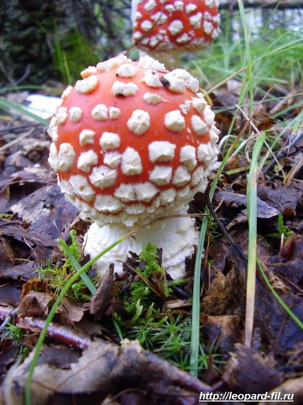 Почему грибами травятся?