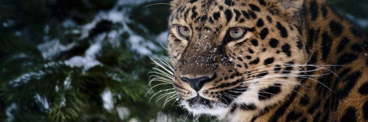 Записки леопарда-путешественника
